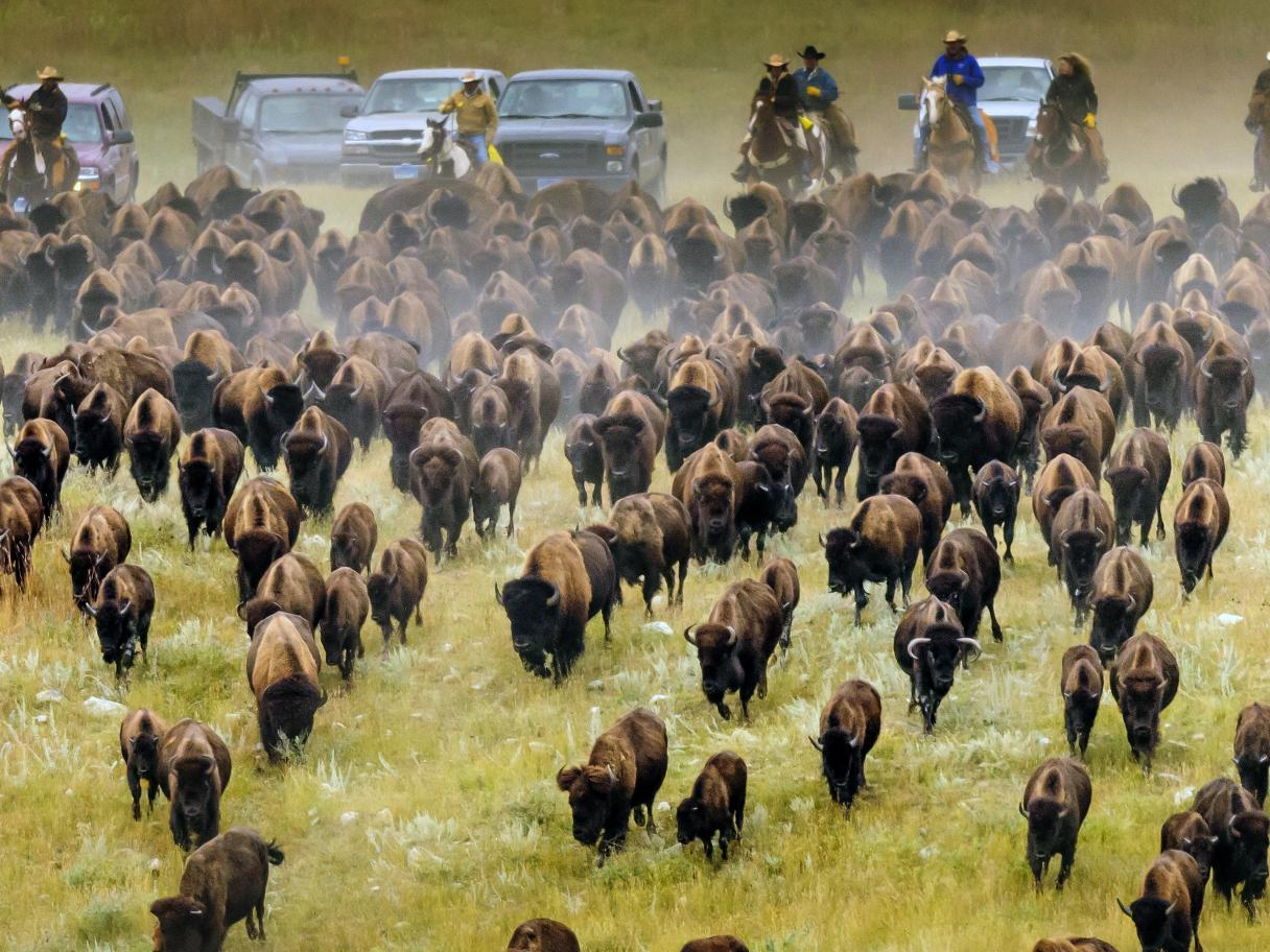 Custer State Park Buffalo Roundup