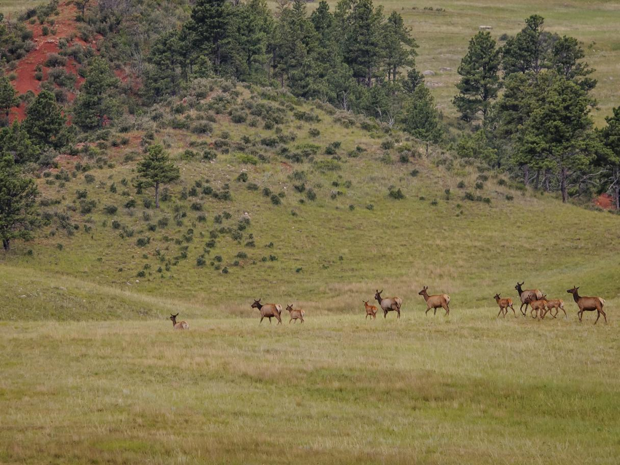Elk at Wind Cave