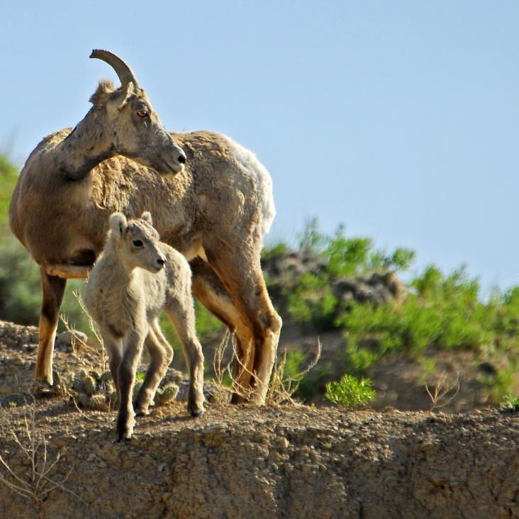 Adult and baby big horn sheep