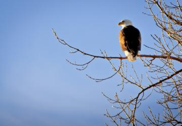 Bald Eagle - Oahe Downstream
