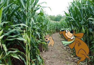 Corn Maze at Yogi Bear's Jellystone Park, Brandon