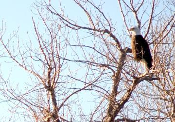 Bald Eagle in South Dakota