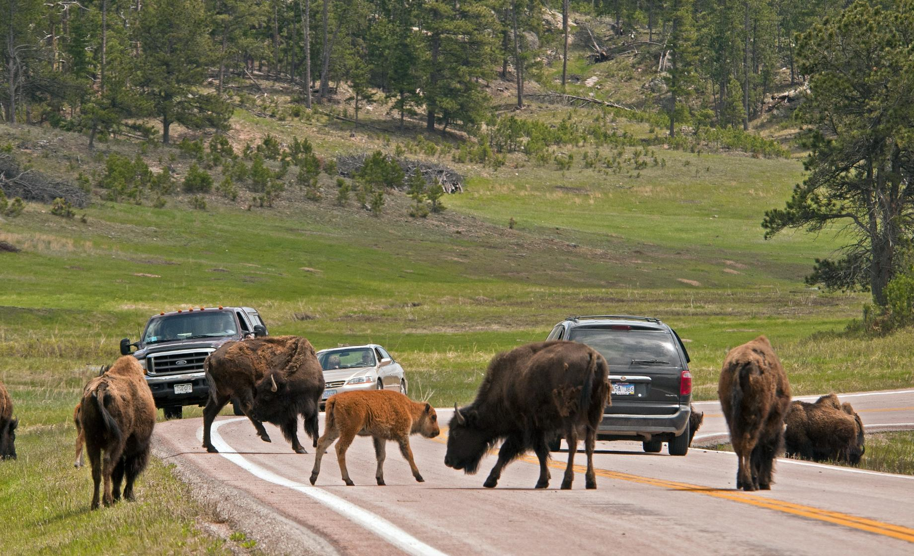 Wildlife Loop Scenic Byway, Bison