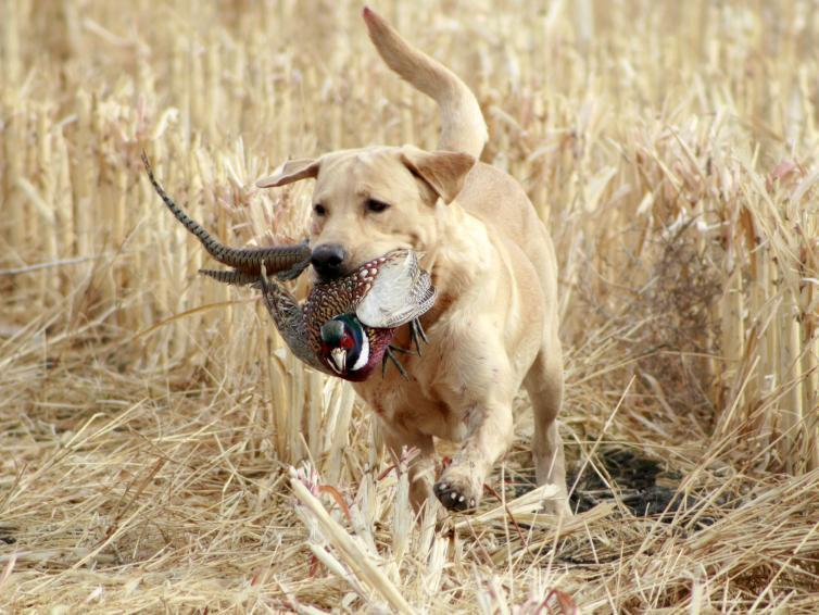 Hunting dog carrying pheasant