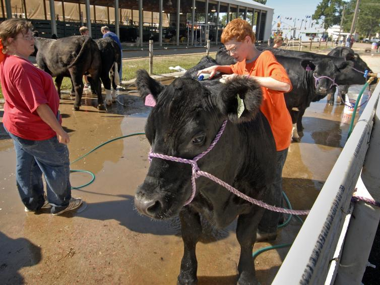Washing cattle at the State Fair