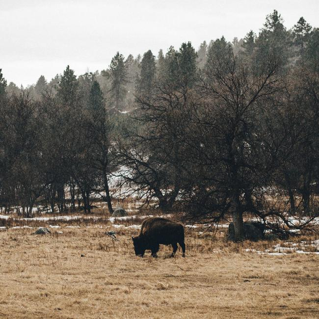 Wildlife loop, bison