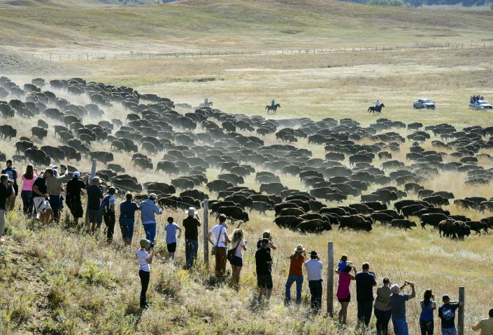 Crowd watches the Buffalo Roundup at Cuter State Park