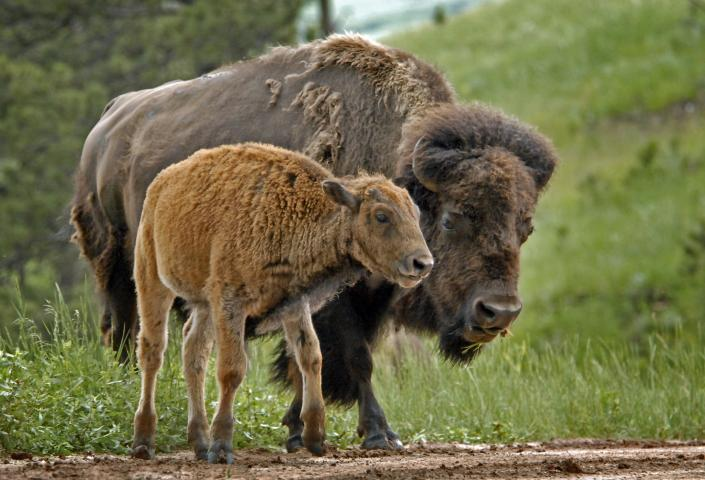 Adult and baby bison
