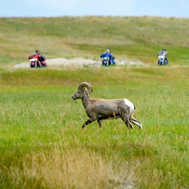 Bighorn Sheep and Motorcycles Badlands Loop Scenic Byway