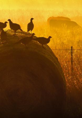 Pheasants on a round hay bale.