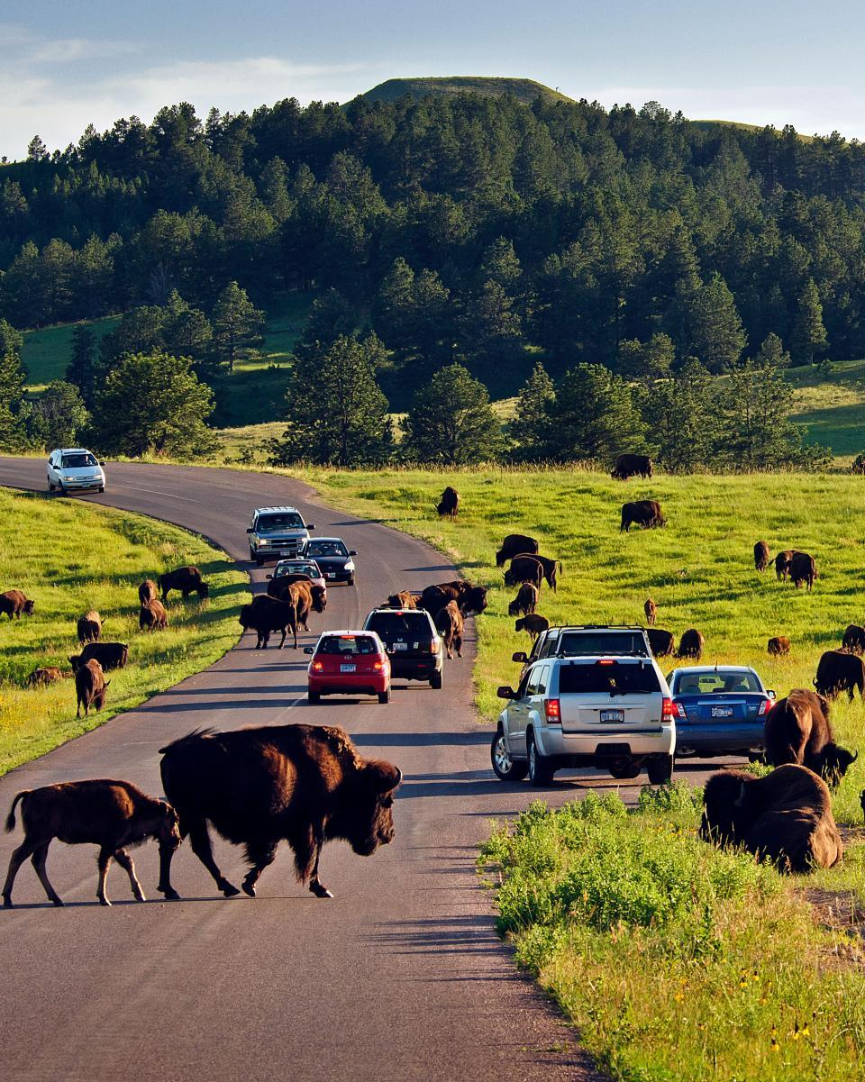 Buffalo Wildlife Loop Scenic Byway Custer State Park