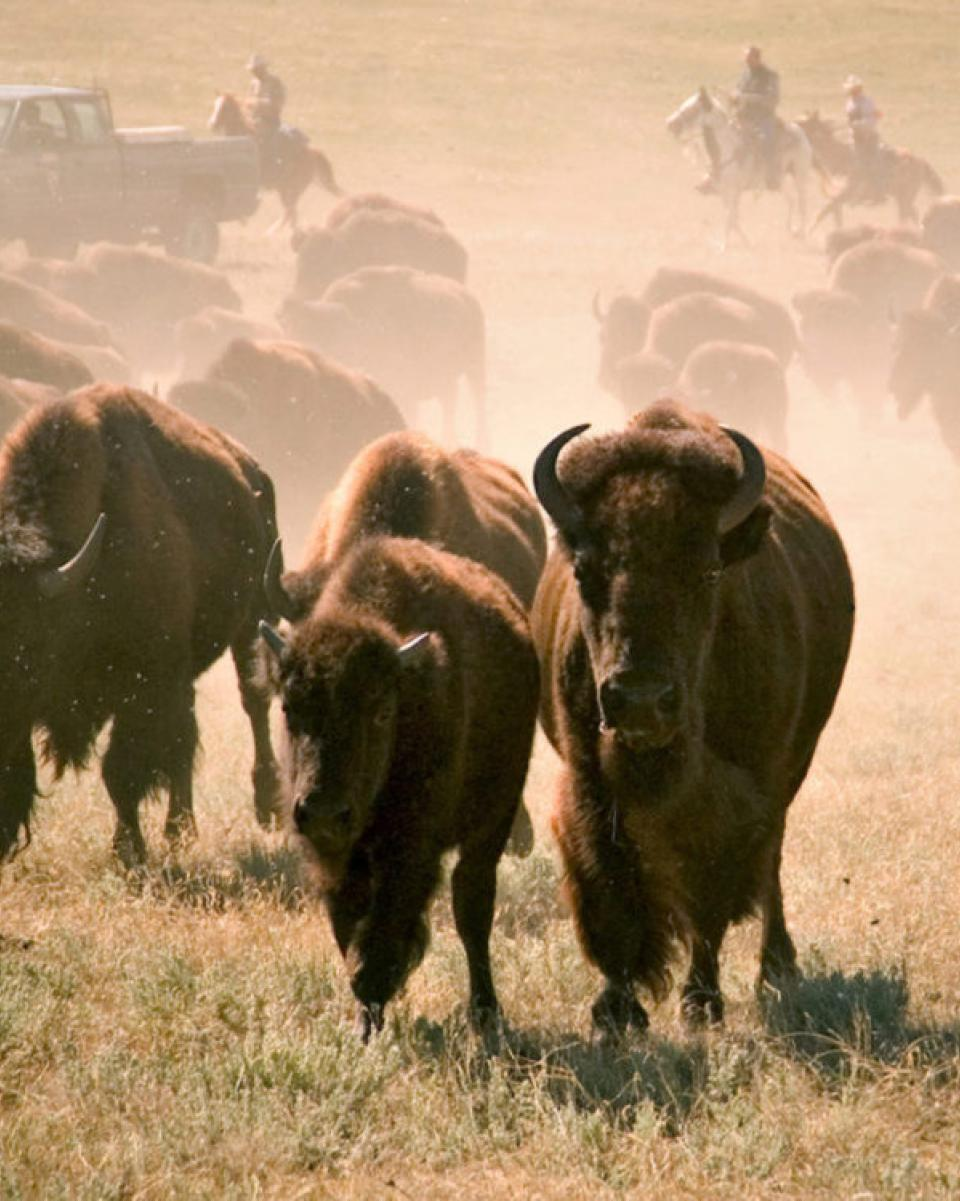 Custer State Park Buffalo Round Up