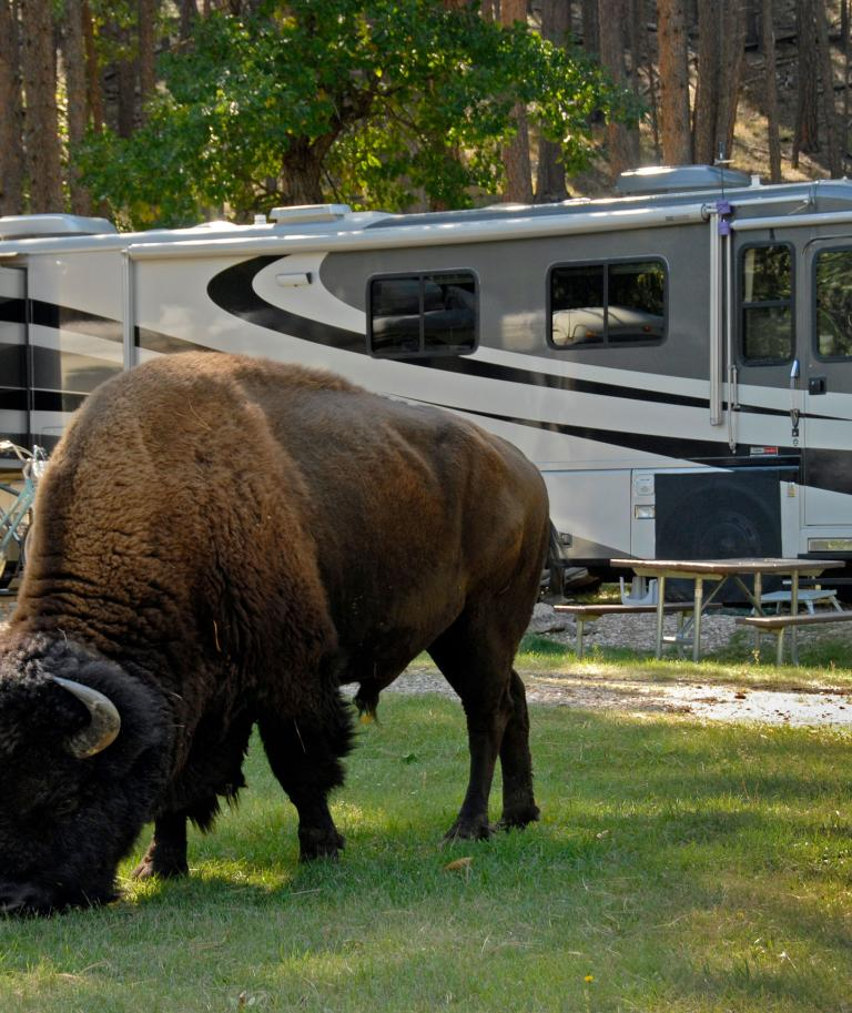Buffalo and Camping RV Custer State Park