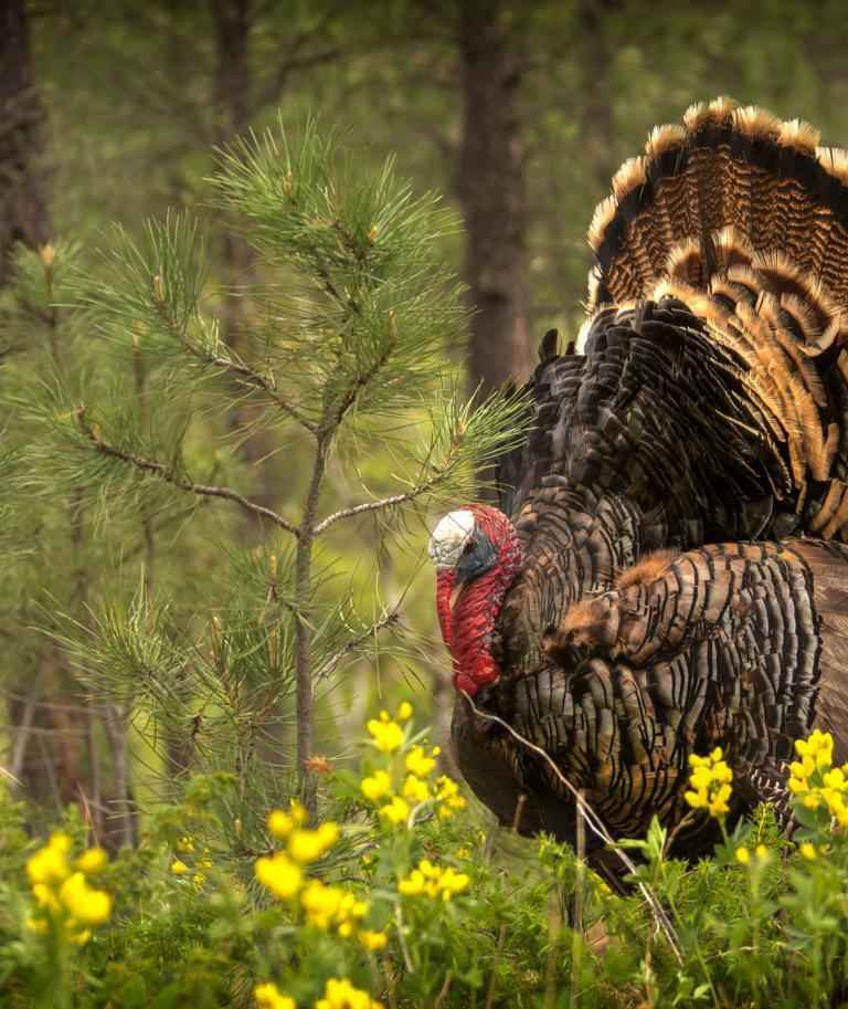 Wild Turkey Black Hills