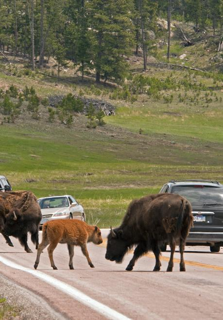 Bison cross the Wildlife Loop State Scenic Byway